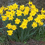 Daffodils Dutch Master Set of 15 Bulbs