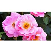 Leaf & Petal Designs 1-piece Peachy Knock Out Roses