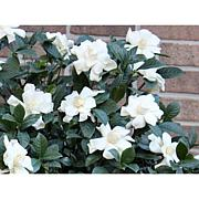 Leaf & Petal Designs 1-piece Veitchii Gardenia