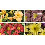 Leaf & Petal Designs 4-piece Breeder's Choice Daylily Set