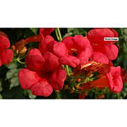 Leaf & Petal Designs Hot Lips Campsis Vine