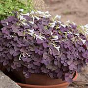 Oxalis Triangularis - 12 Bulbs