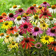 VanZyverden Echinacea Cone Flower Mixed 10-piece Root Set