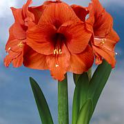 Waxed Amaryllis Orange Set of 1 Bulb