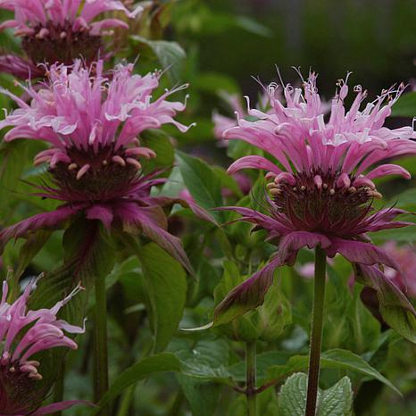 Bee Balm Beauty Of Cobham Set of 5 Roots