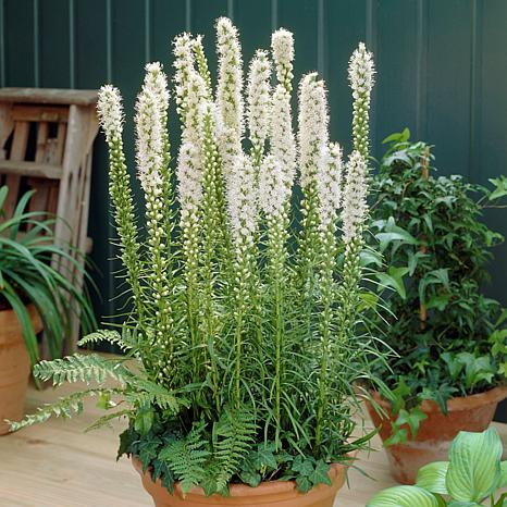 Blazing Star Liatris Spicata White Set of 25 Bulbs