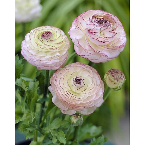 Butter Cups Ranunculus Double Picotee Set of 25 Bulbs