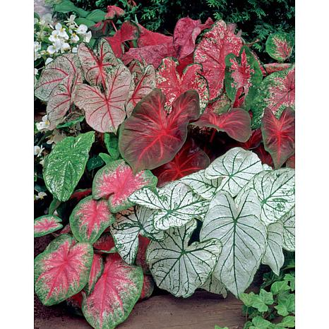 Caladiums Fancy Leaf Mixed Set Of 18 Bulbs 8962159 Hsn