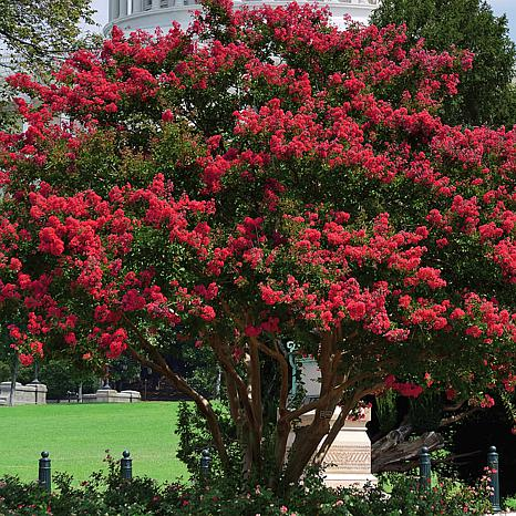 Crape Myrtle Red Root Stock
