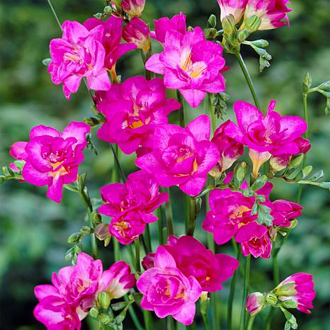 Freesias Double Blooming Pink - 25 Bulbs
