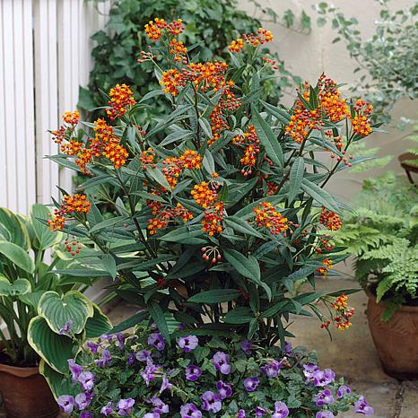 """Gay Butterfly (Mixture) Asclepias """"Support The Monarchs"""" - 3 Roots"""