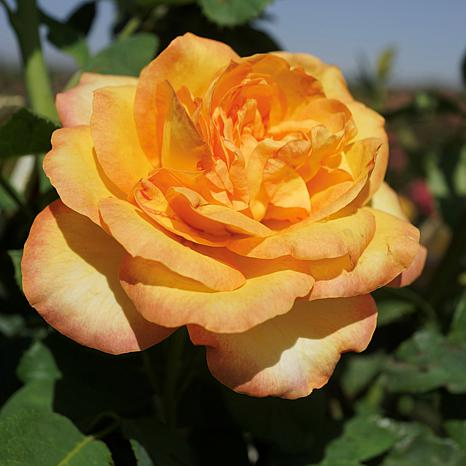 """""""Gold Medal"""" Rose Root Stock"""