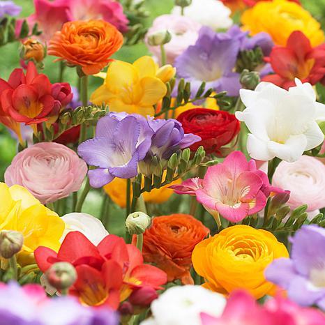 Grand Freesia and Ranunculus Blend Set of 25 Bulbs