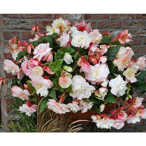 Hanging Basket Begonias Odorata Red & White Set of 5 Bulbs