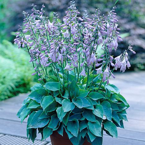 Hosta Halcyon Set of 3 Roots