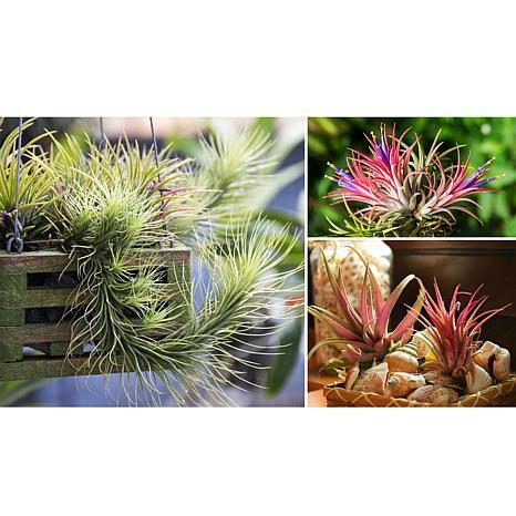 Leaf & Petal Designs 3-piece Air Plants