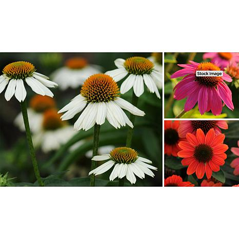 Leaf & Petal Designs 3-piece Coneflower Trio