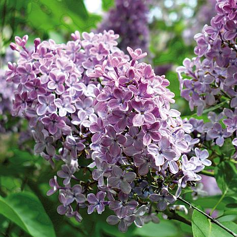 Lilac Purple Root Stock