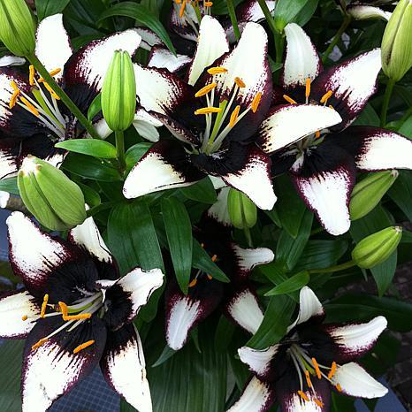 Lilies Asiatic Black Eye Set of 7 Bulbs