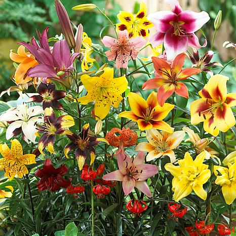 Lilies Non Stop Blooming Blend Set of 25 Bulbs