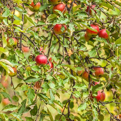 McIntosh Apple Tree Root Stock