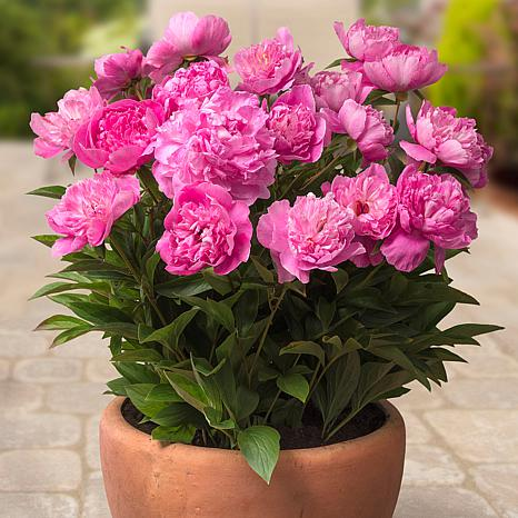 Patio Peonies Rome For Containers Set of 1 Root