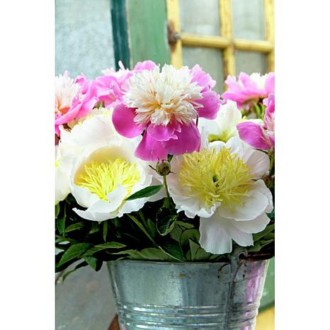 Peonies White and Pink Blend Set of 5 Roots