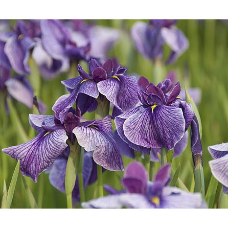Premium Series Pond Marginal Iris Ensata Activity Kit