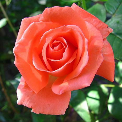 """Tropicana"" Rose Root Stock"