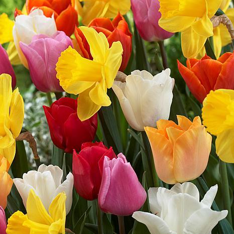 Tulips & Narcissus Pot Luck Mixture Set of 100 Bulbs