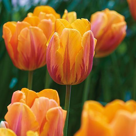 Tulips Princess Irene Set of 12 Bulbs