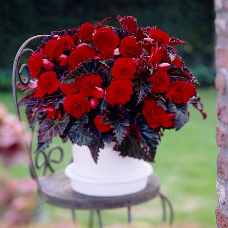 Van Zyverden Begonias Switzerland Bulbs 5-pack