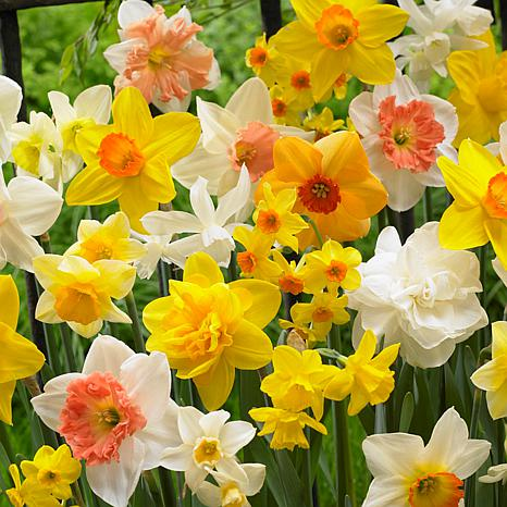 VanZyverden Daffodils Kitchen Sink Mixture 50-piece Bulb Set