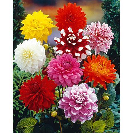 VanZyverden Dahlias Decorative Mixed 14-piece Bulb Set