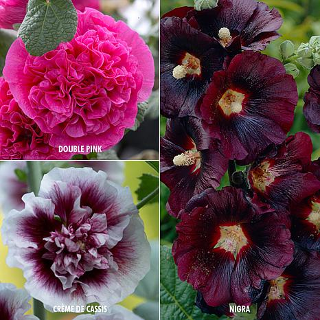 VanZyverden Hollyhocks 3 Varieties 15-piece Root Set