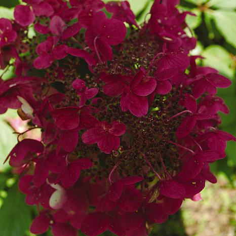 "VanZyverden Hydrangea Fire and Ice 4"" Potted Rocketliners® Set of 3"