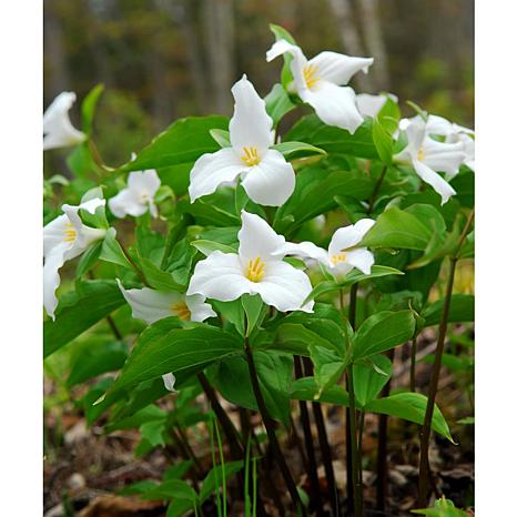 Woodland Plant Trillium Grandiflorum Set of 3 Roots
