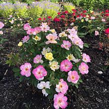 "Bloomin' Easy® Rosa Peach Lemonade™ 4"" Potted Rocketliners®"