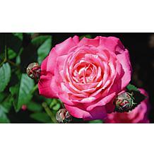 Leaf & Petal Designs 1-piece Peppermint Pop Roses
