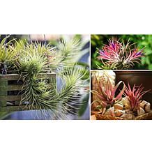Leaf & Petal Designs 3-piece Air Plants