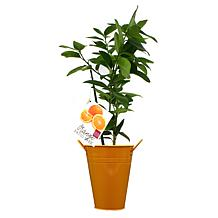 VanZyverden Orange Navel Citrus Tree with Decorative Patio Planter