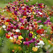 VanZyverden Tulips Economy Medley of Varieties Bulb Set