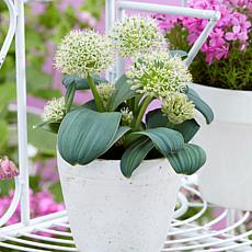 Allium Karataviense Ivory Queen Set of 7 Bulbs