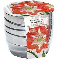 Amaryllis Kit Minerva with Silver Swirl Ceramic Planter