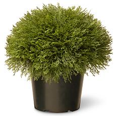 "Artificial 15"" Juniper Bush in Green Growers Pot"