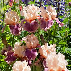 Bearded Iris Cherry Blossom Song Set of 3 Roots