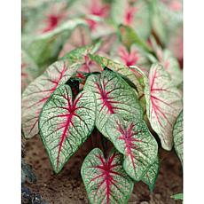 Caladiums Fancy Leaf White Queen Set of 6 Bulbs