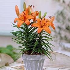 Container Lilies Orange Pixie Set of 7 Bulbs