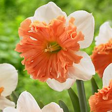 Daffodils 2019 Color Of The Year Living Coral Set of 6 Bulbs