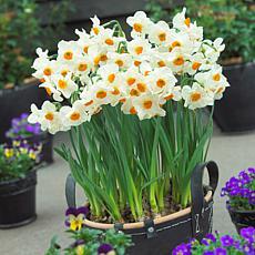 Daffodils Geranium Set of 12 Bulbs